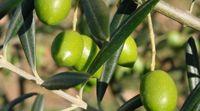 Môj Ježiš si spásou | olivymusic